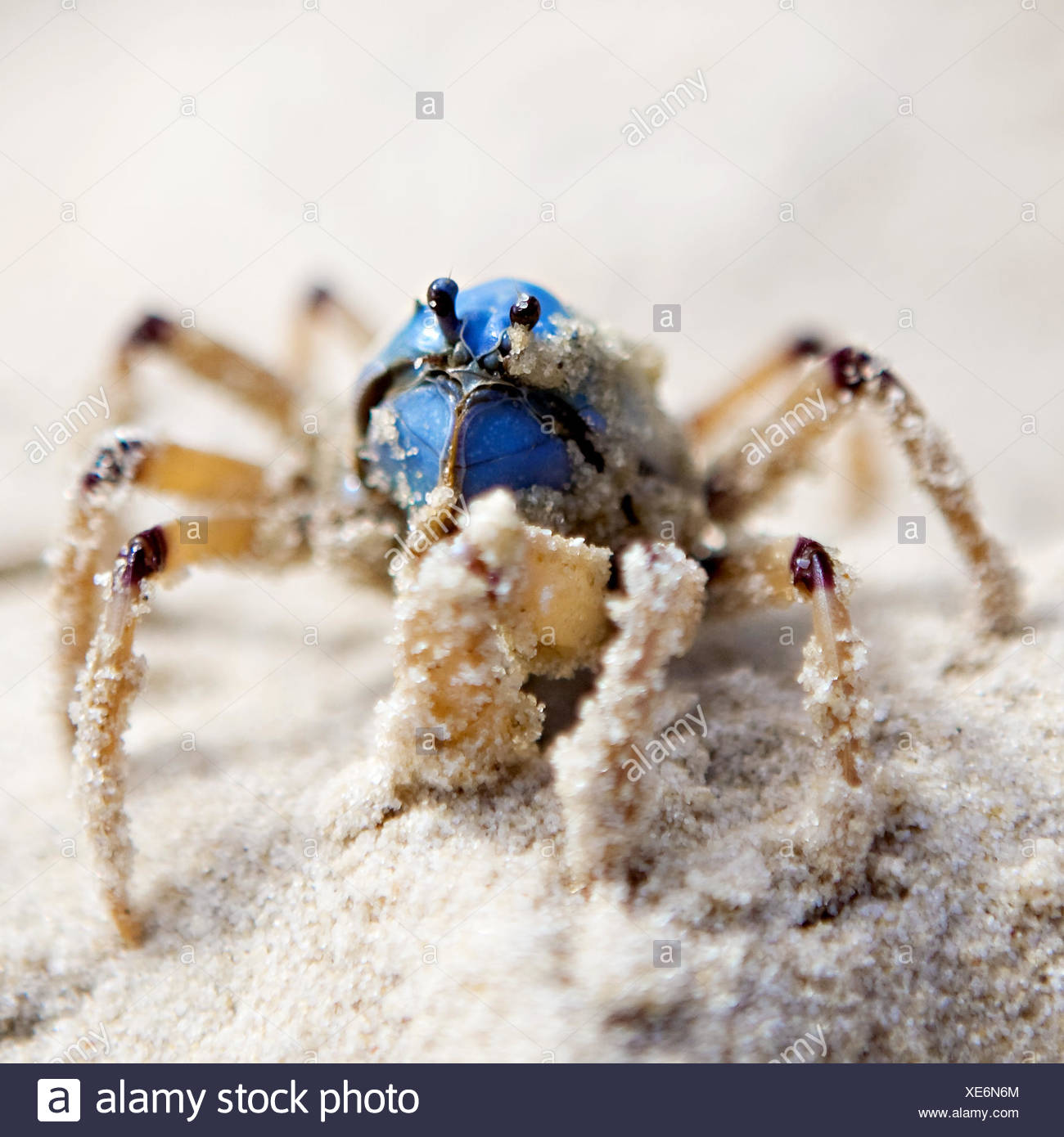 Close up of a soldier crab in the sand, Fraser Island, Australia - Stock Image