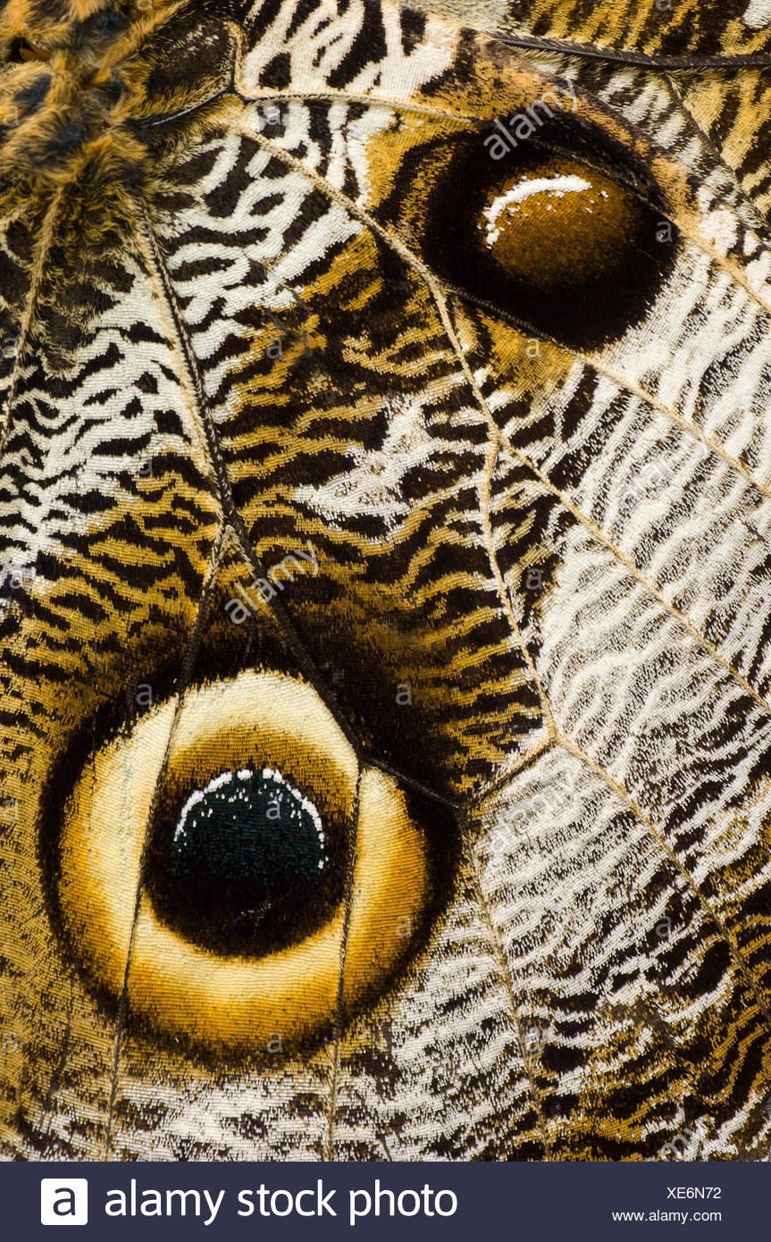 Close up detail of eye spots on wing of Owl-eye butterfly (Caligo sp), Amazonia, Ecuador, South America. - Stock Image