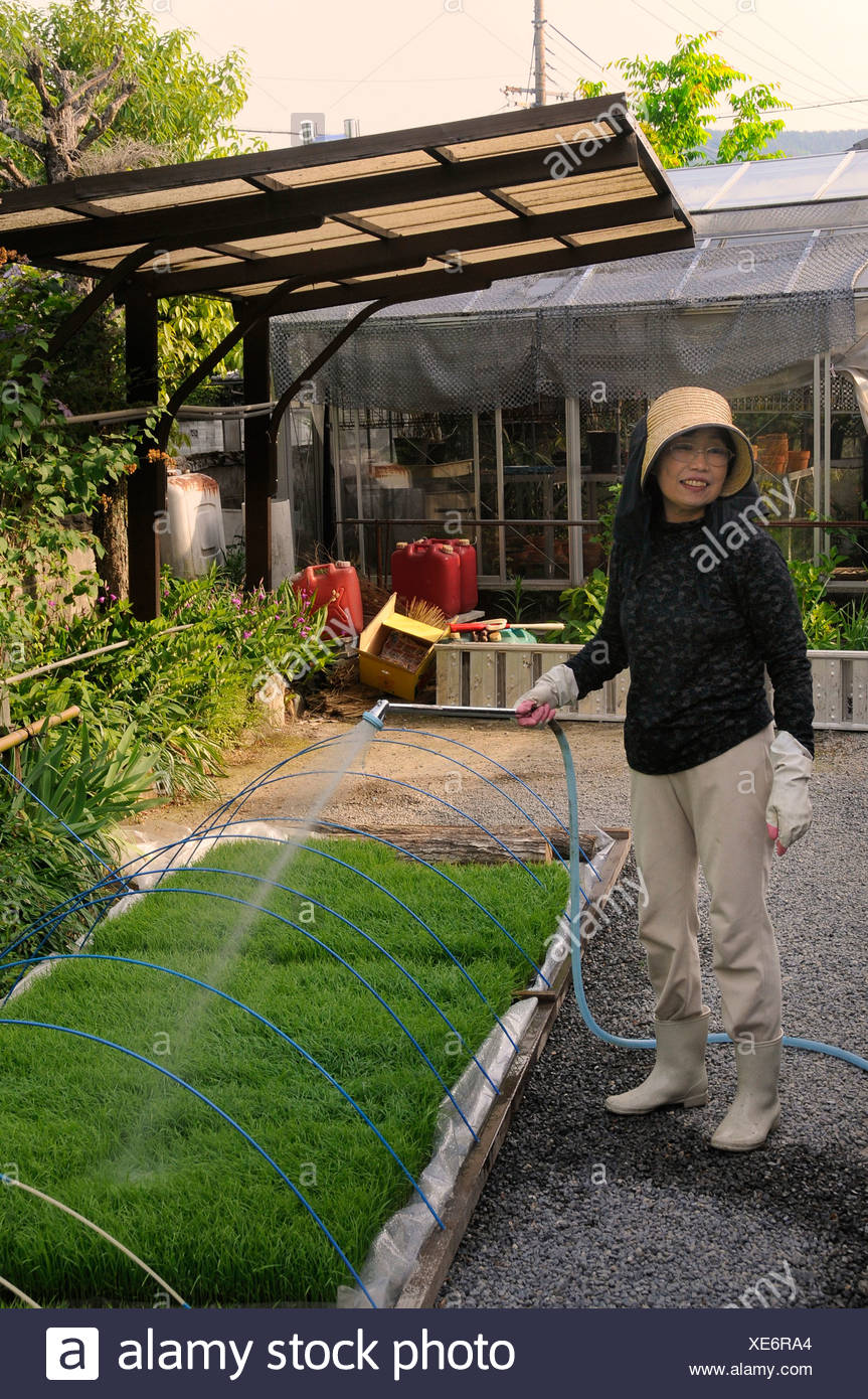 After the furnace rice shoots are cultivated in an artificial planting basin, female rice farmer, Iwakura, Kyoto, Japan, Asia - Stock Image