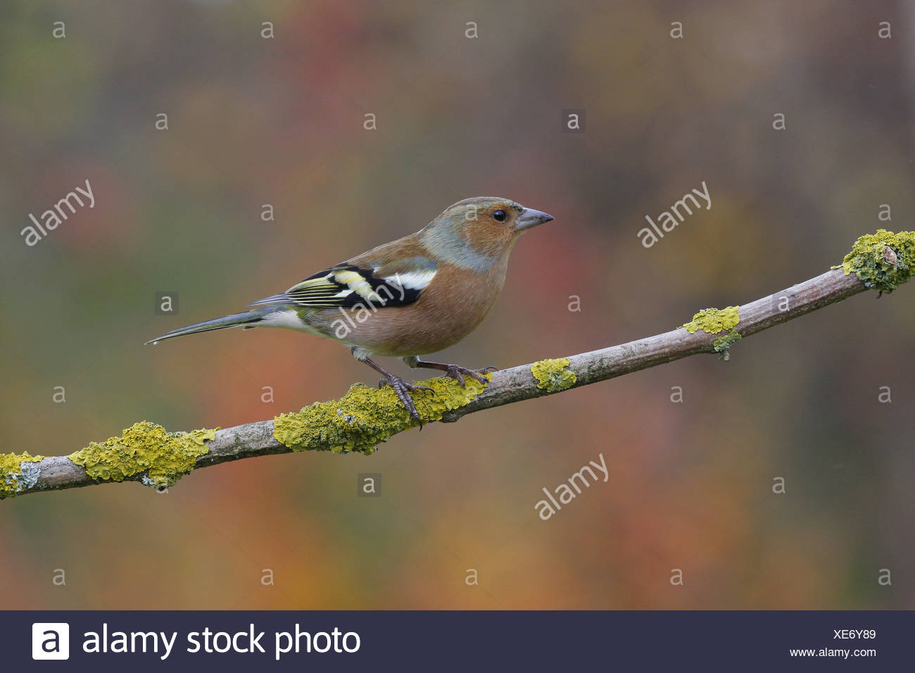 Chaffinch (Fringilla coelebs) adult male, perched on twig, Leicestershire, England, autumn - Stock Image
