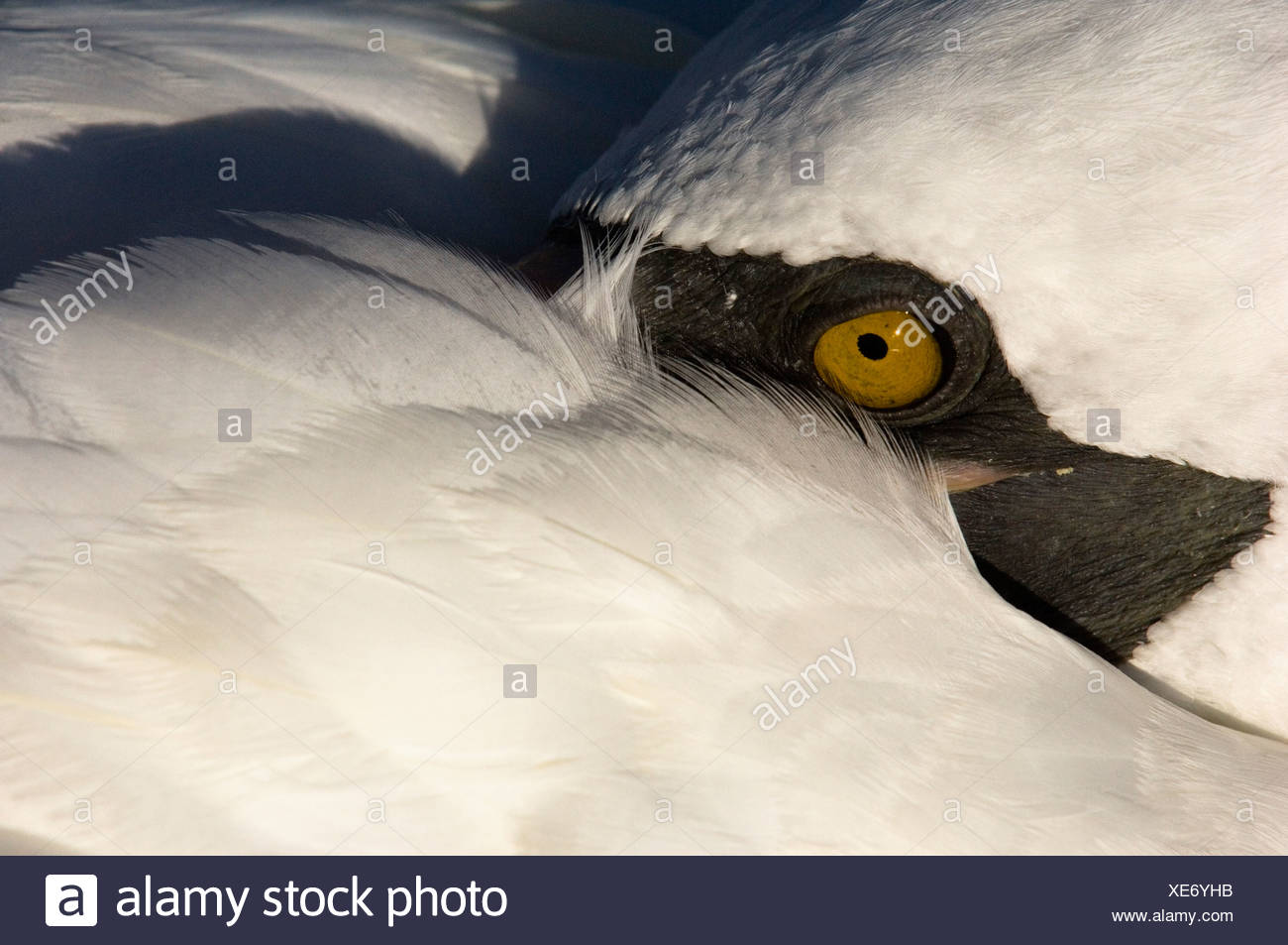 Nazca Booby (formerly Masked booby), Punto Cevallos, Espanola (Hood) Island, Galapagos Islands, Ecuador, South America. Stock Photo