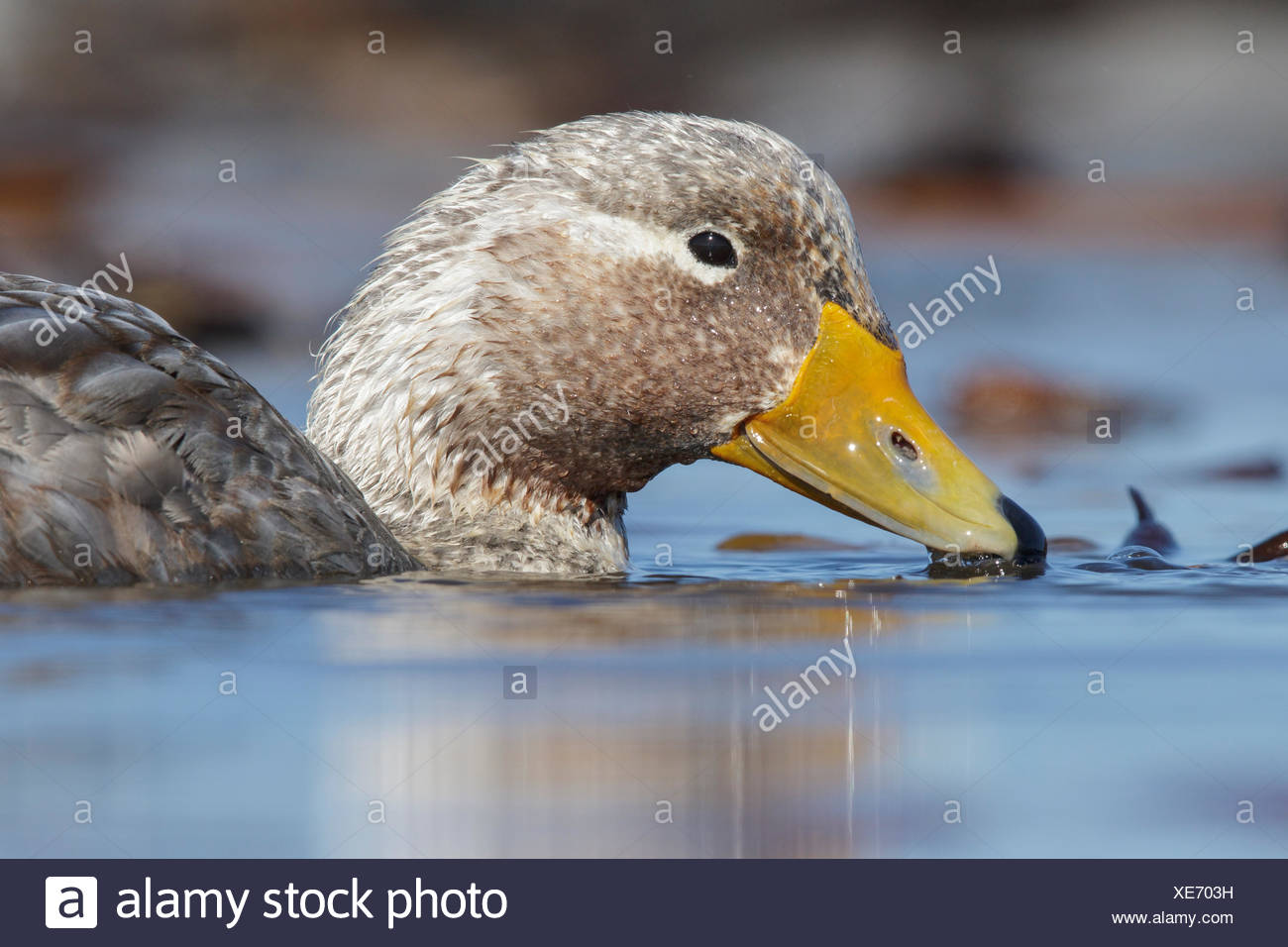 Falkland (Flightless) Steamer-Duck (Tachyeres brachypterus) swimming on a small pond in the Falkland Islands - Stock Image