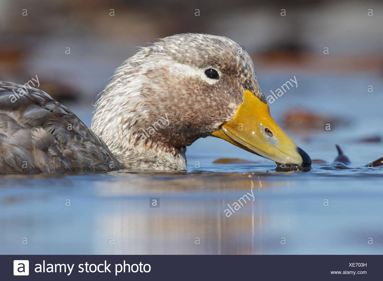 Falkland (Flightless) Steamer-Duck (Tachyeres brachypterus) swimming on a small pond in the Falkland Islands Stock Photo