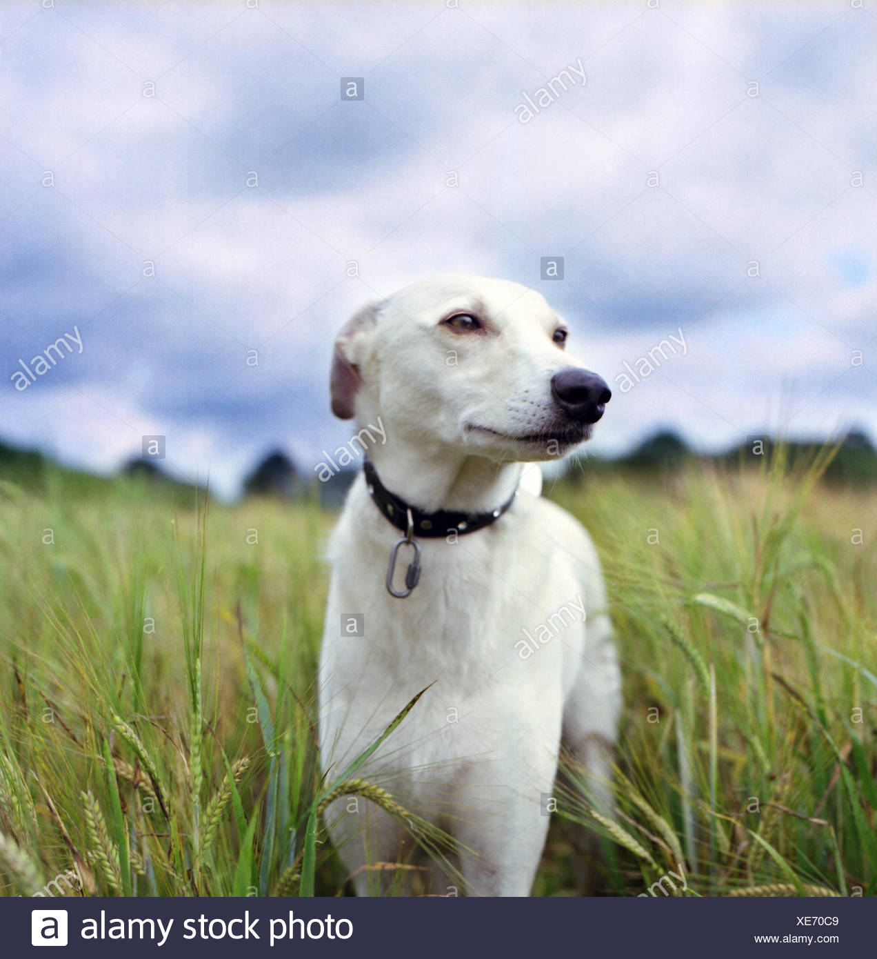 Portrait of Whippet dog standing in wheat field - Stock Image