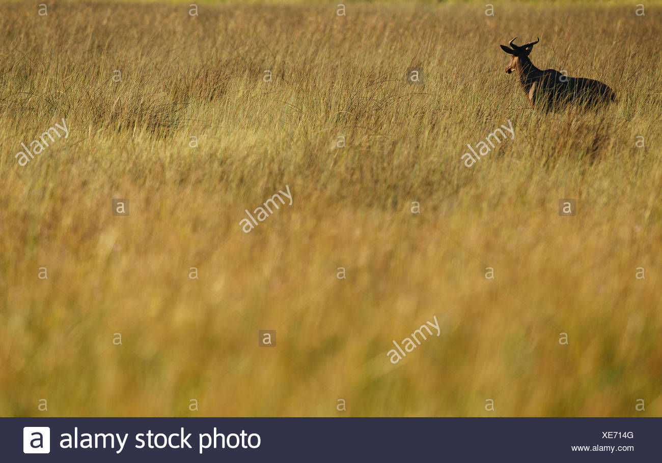 A topi, Damaliscus korrigum, standing in a field at sunrise. - Stock Image
