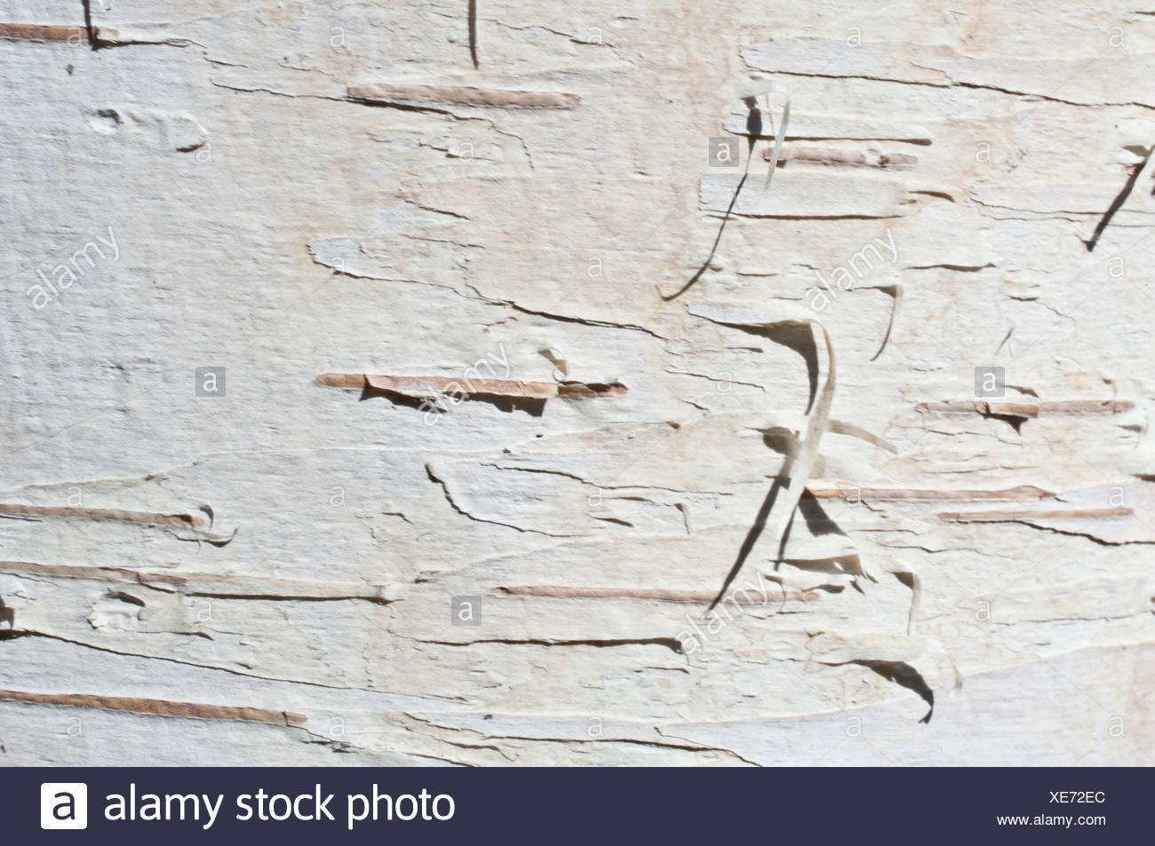 Close up of birch bark surface texture - Stock Image