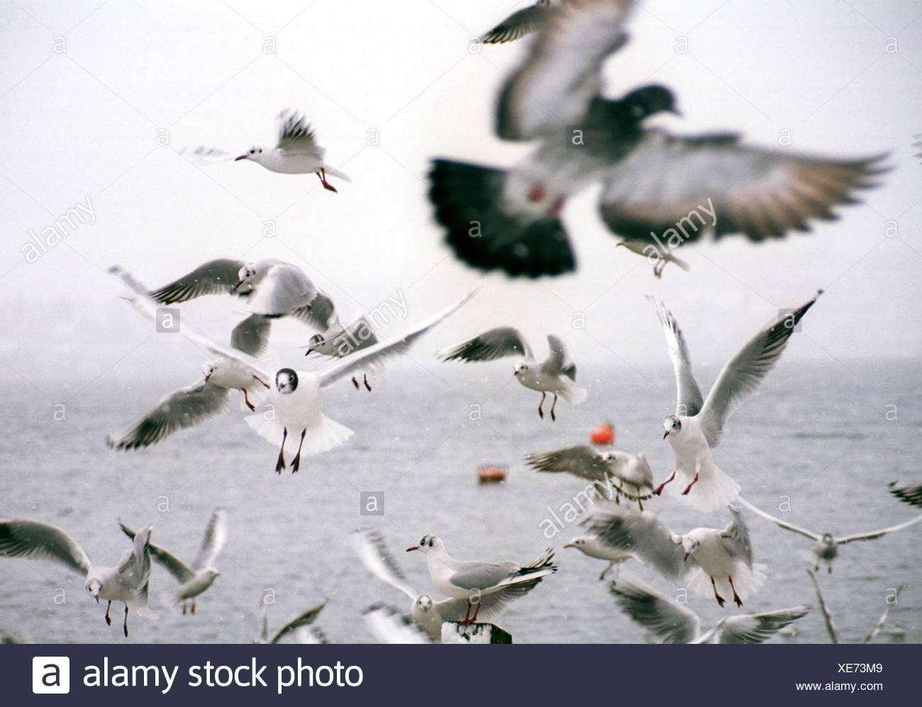 Gulls and a dove on Zuerichsee - Stock Image