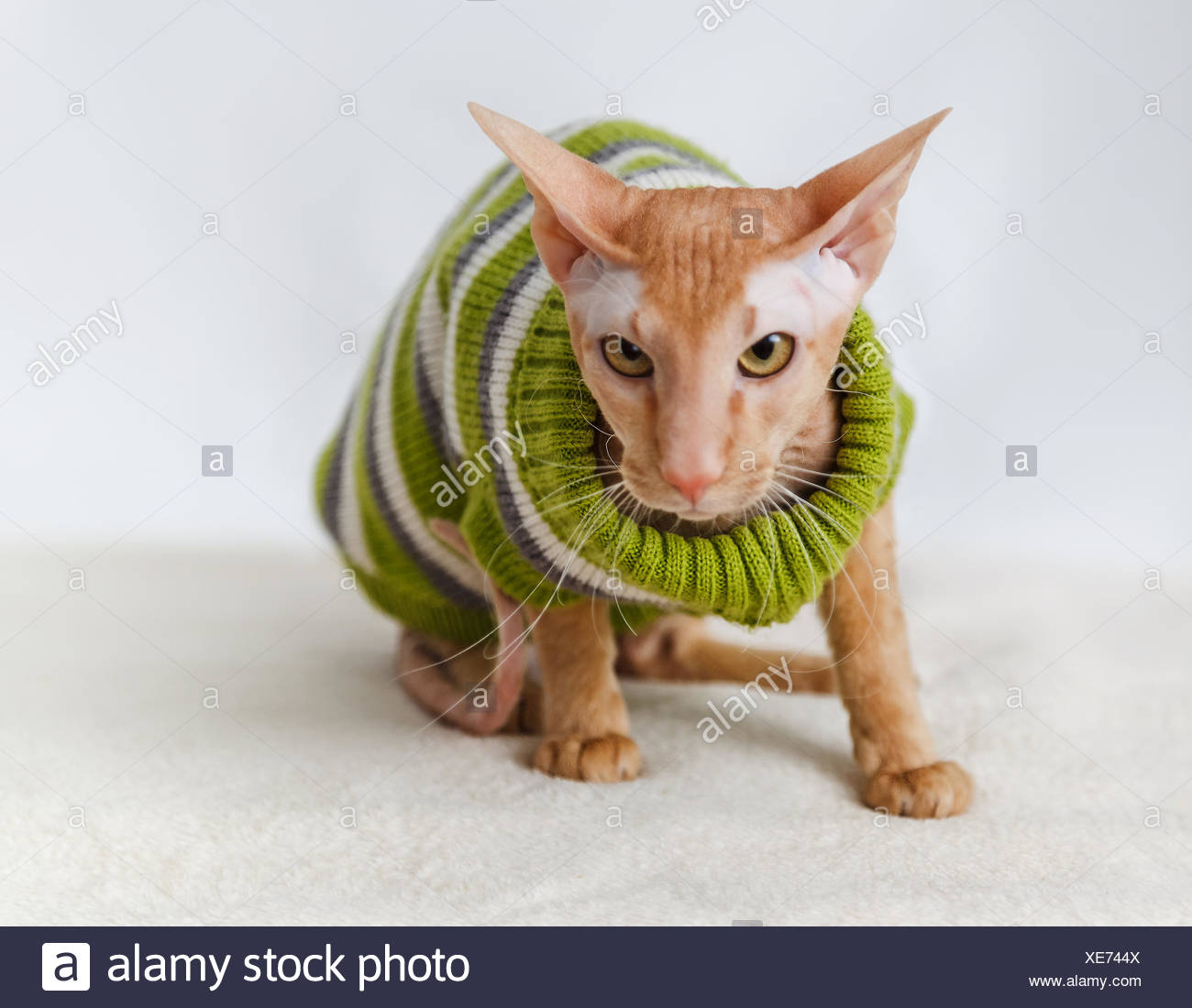 Cat breeds Pererbold - Stock Image