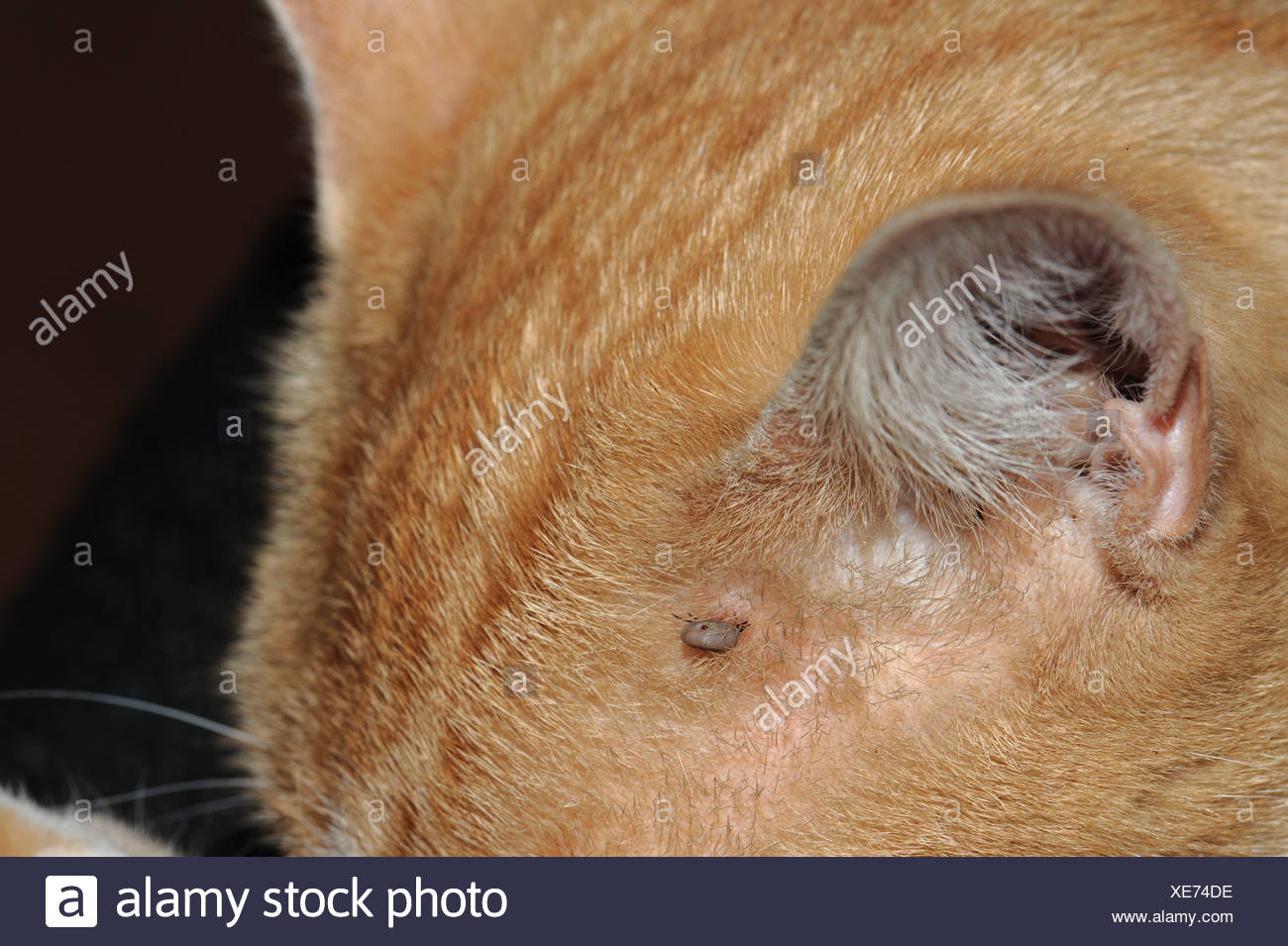 Sheep tick Ixodes ricinus not fully dilated but attached to a young cat - Stock Image