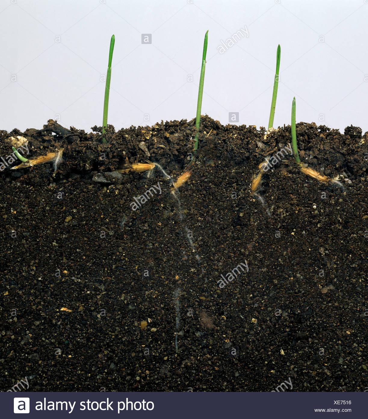 Wild oat (Avena fatua) seedlings germinating in glass-sided tank to show seeds & roots Stock Photo