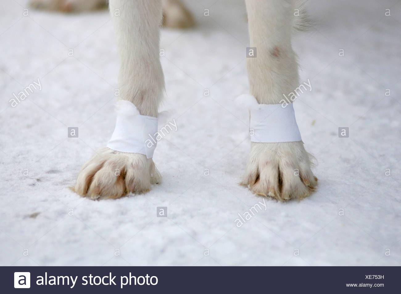 Husky paw with tape bandage Stock Photo