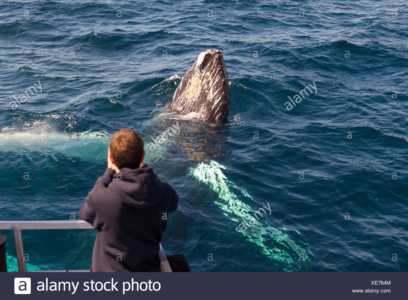 Humpback Whale spyhopping, (Megaptera novaeangliae), while whale watcher takes his photograph, Witless Bay Ecological Reserve, - Stock Image