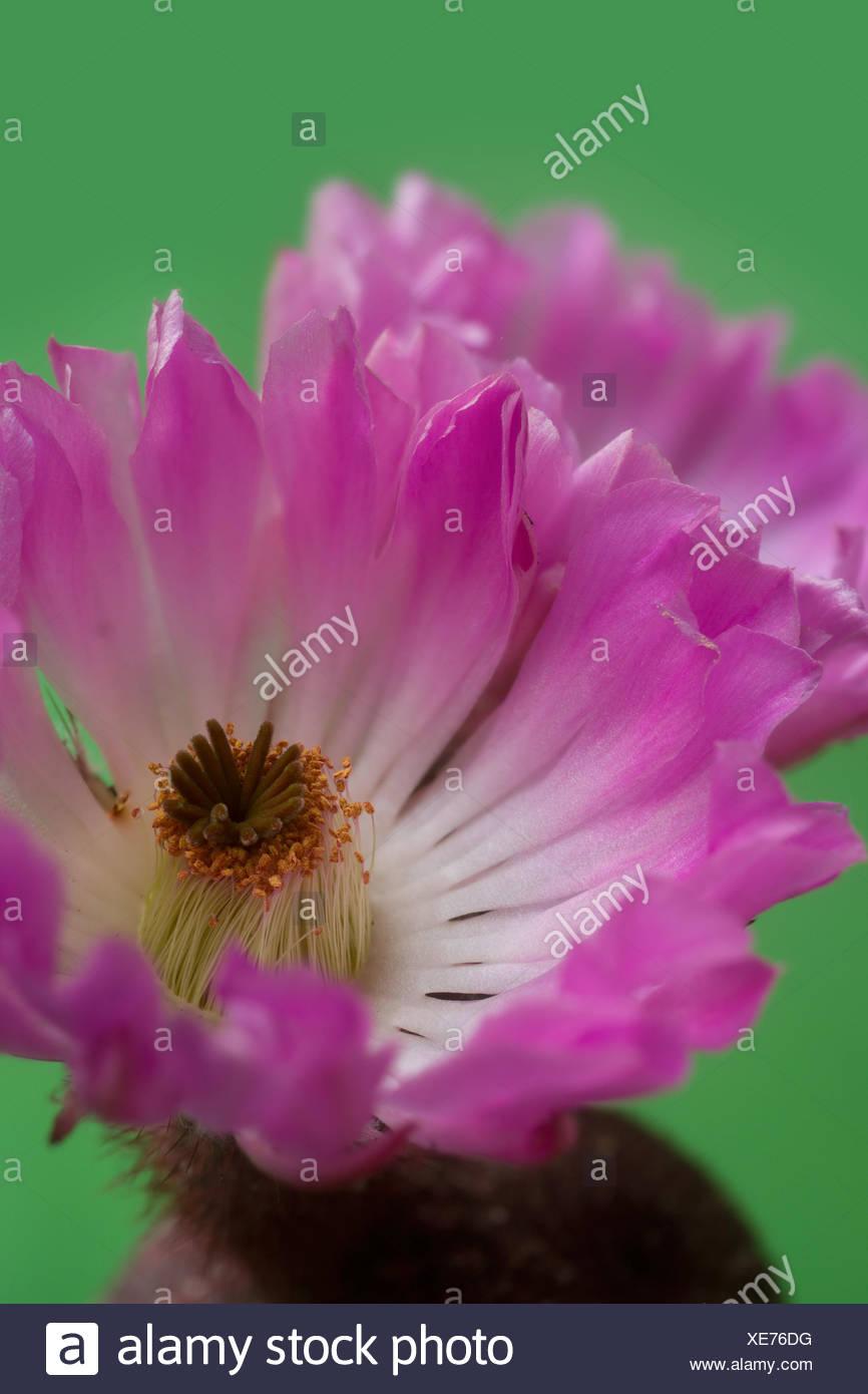 Blossom, Echinocereus pectinatus, plant, indoor plant