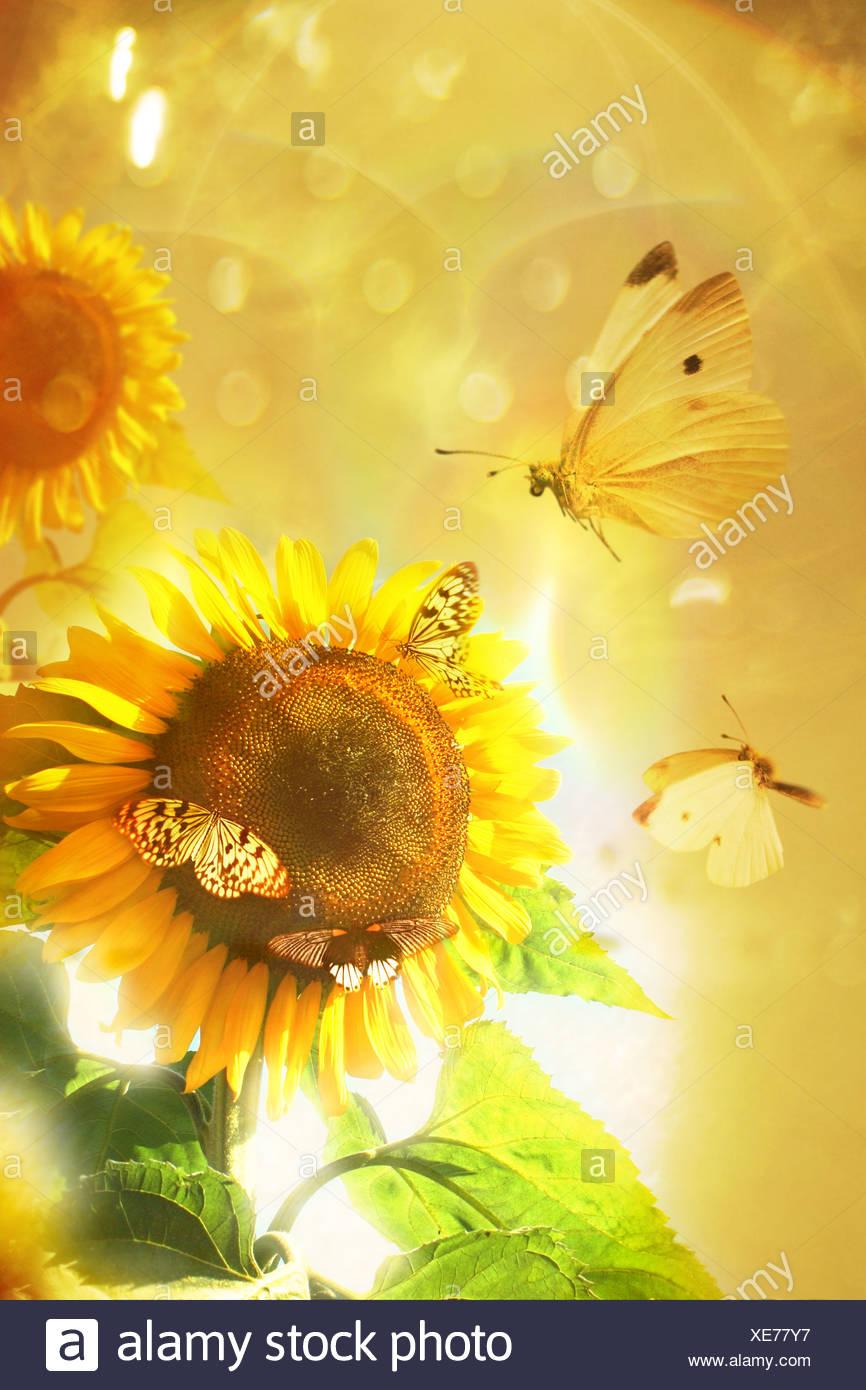 sunflower - Stock Image
