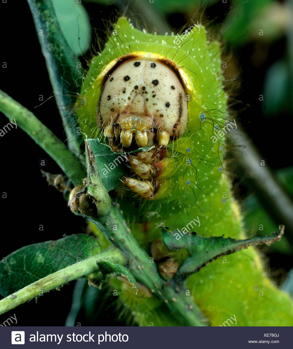 Chinese oak silworm or tussar moth Antheraea pernyi caterpillar on oak foliage - Stock Image