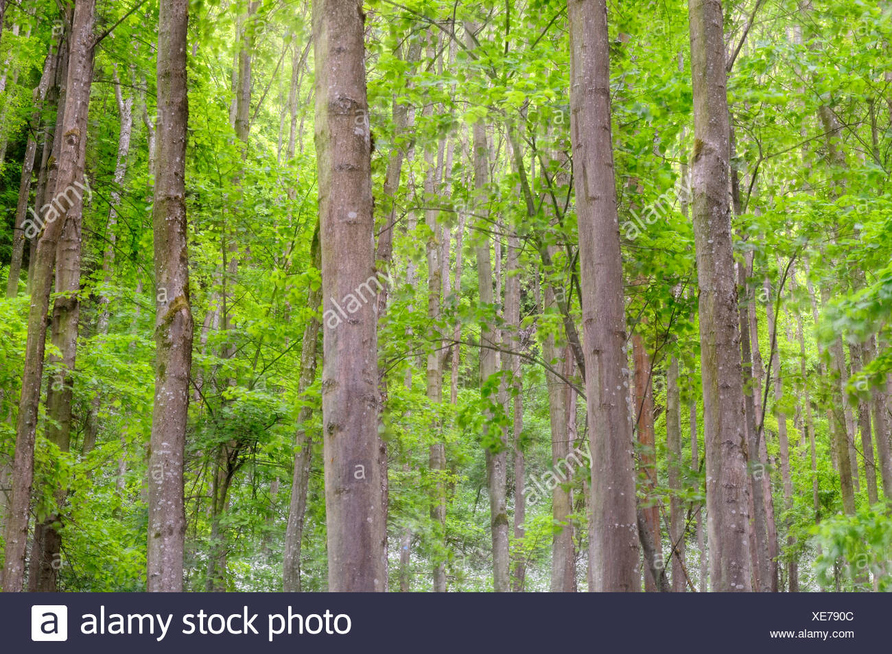 Beech forest (Fagus) with fresh leafage, Germany, Europe - Stock Image