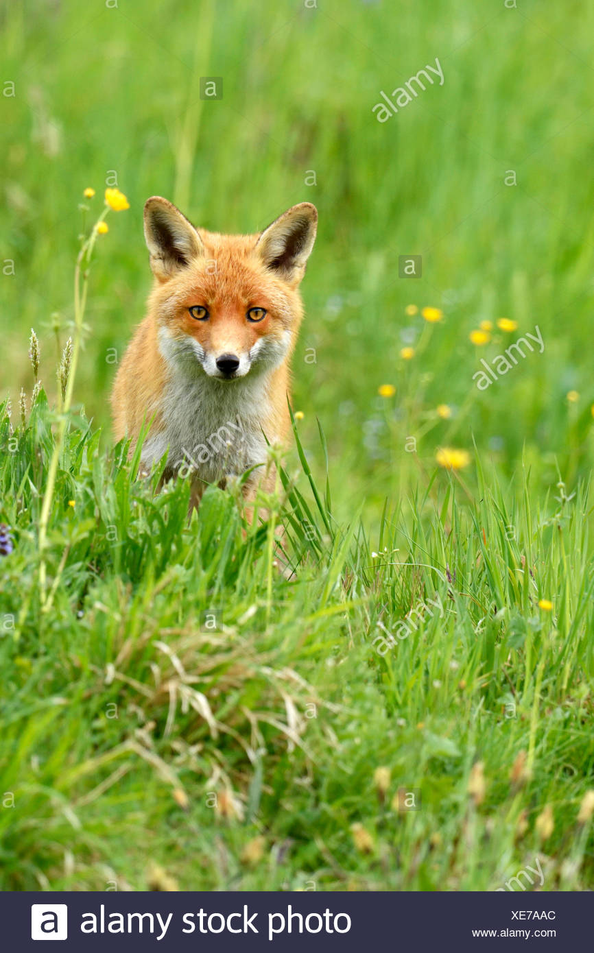 Red fox (Vulpes vulpes), Canton of Zurich, Switzerland - Stock Image