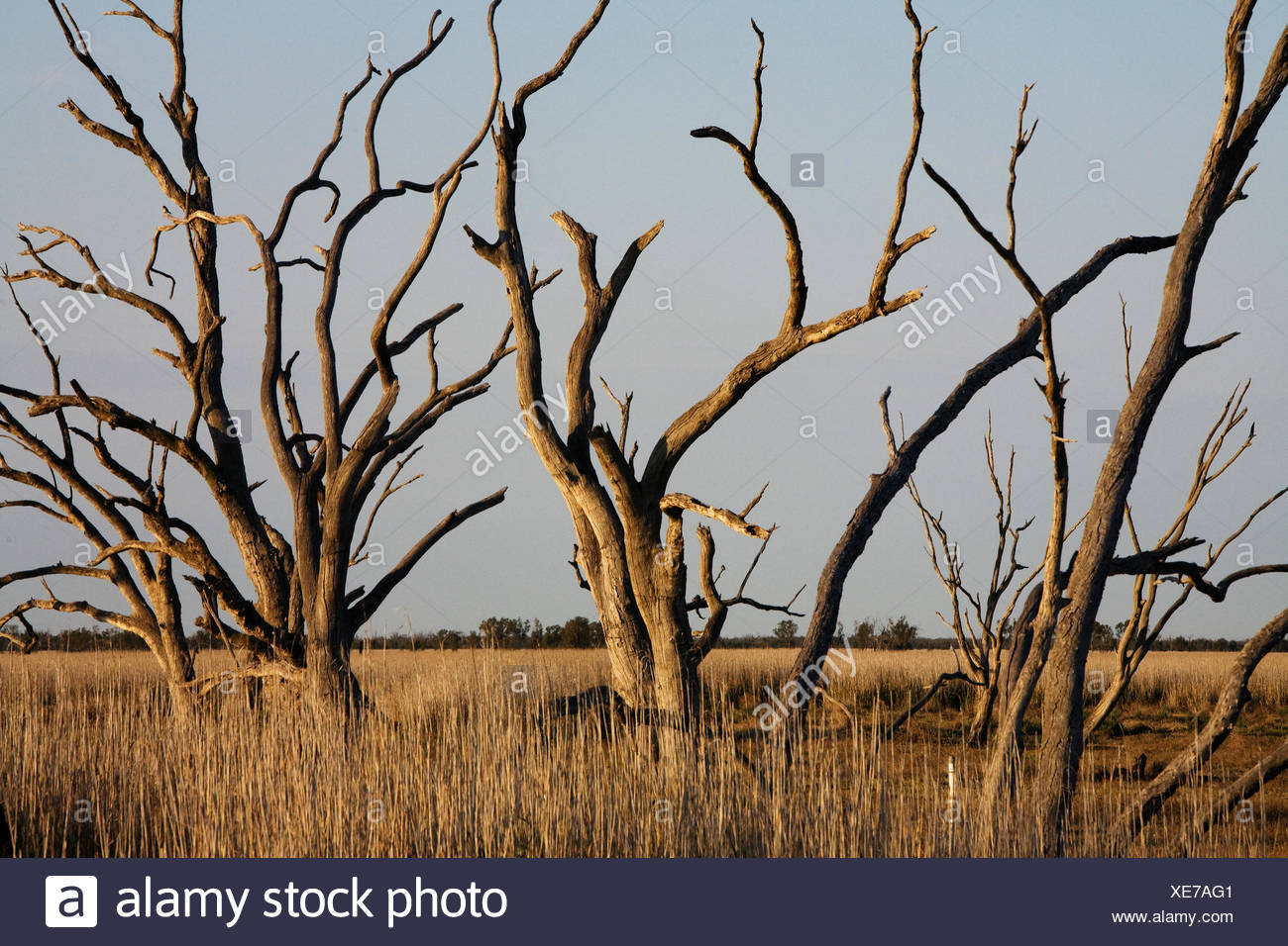 River red gum trees, dead from lack of water due to river diversion. - Stock Image