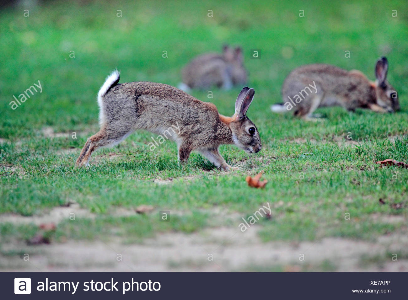 European rabbit (Oryctolagus cuniculus), wild rabbits searching food in a meadow, Germany - Stock Image