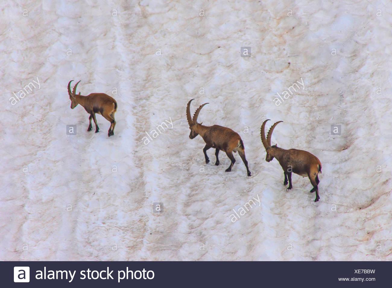 Alpen-Steinbock, Alpensteinbock (Capra ibex, Capra ibex ibex), Drei Alpensteinboecke queren ein steiles altes Schneefeld, Schwei Stock Photo