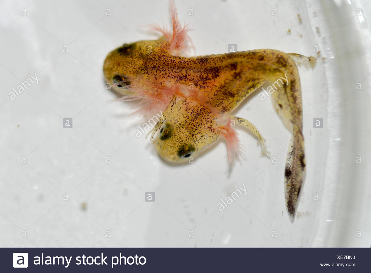Two-headed Near Eastern fire salamander (Salamandra infraimmaculata) tadpole that was born last week in a community ecology lab at the University of Haifa, Israel.both heads of the tadpole are moving, but only one has been observed snapping up insect larvae. - Stock Image
