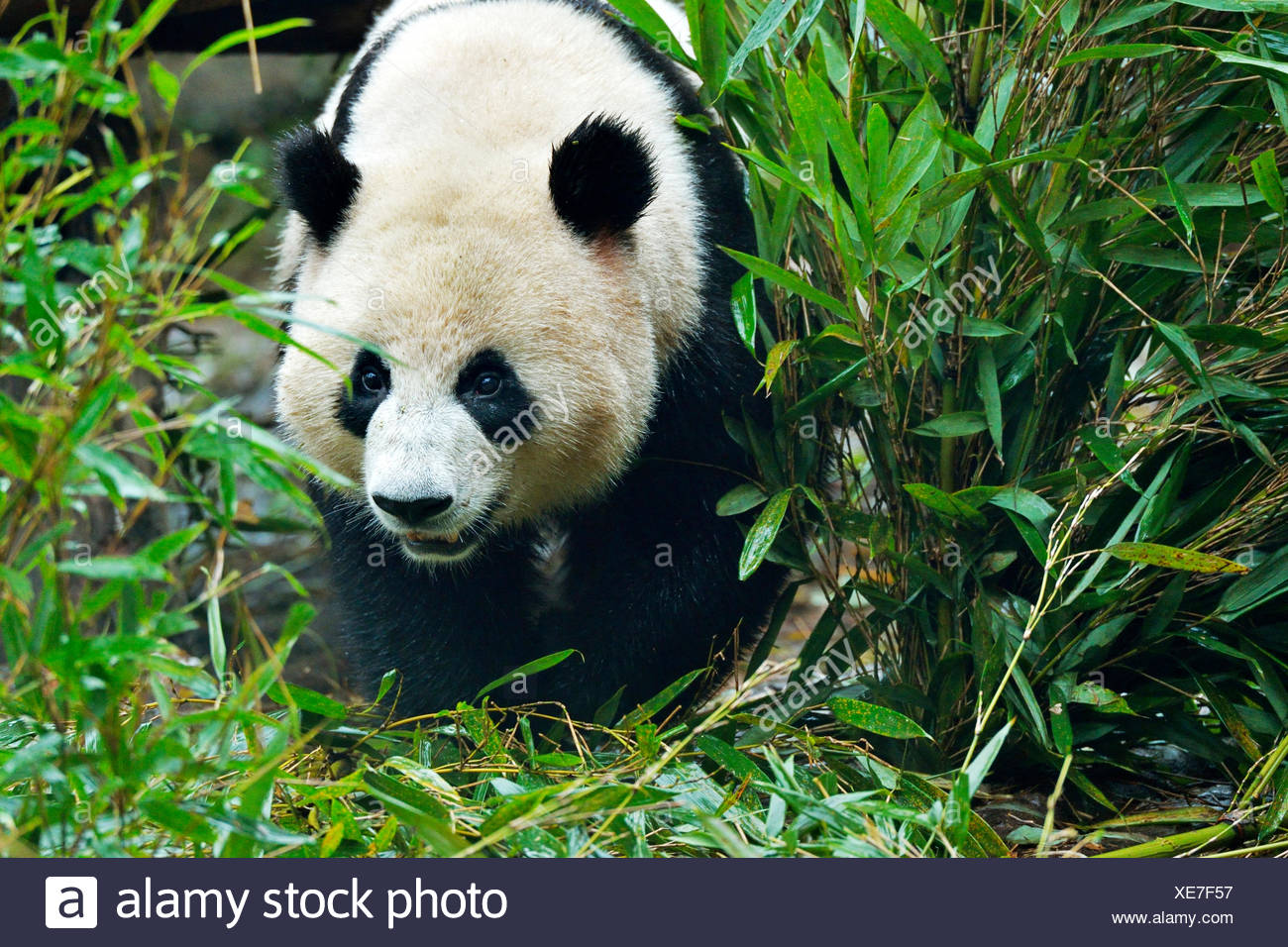 Giant Panda (Ailuropoda melanoleuca), captive, Chengdu Research Base of Giant Panda Breeding or Chengdu Panda Base, Chengdu - Stock Image