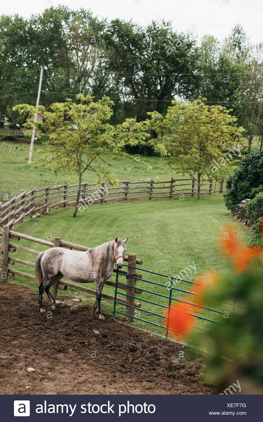 High angle portrait of dapple grey horse tied to paddock fence - Stock Image
