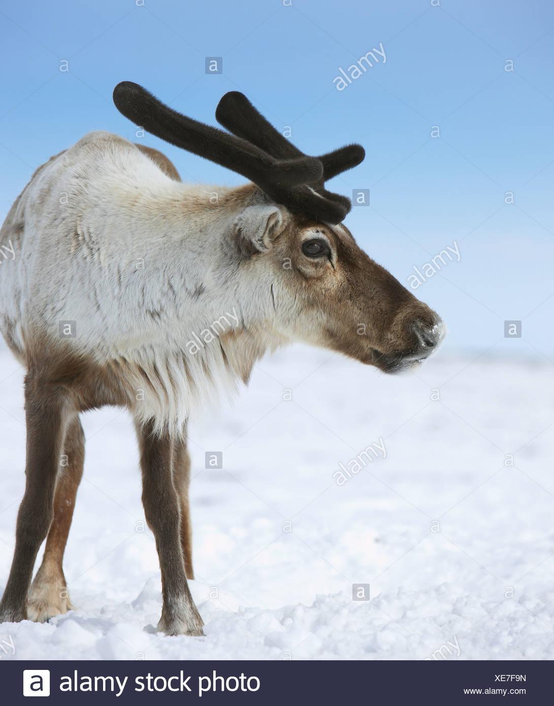Young Reindeer, Chukotka, Siberia, Russia - Stock Image