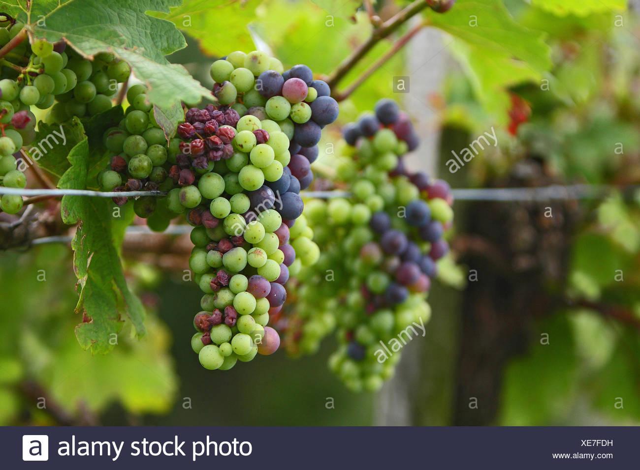 grapes common grape vines vine Stock Photo