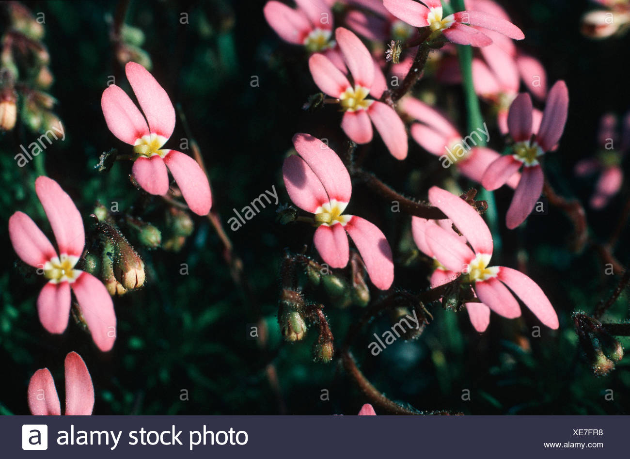 Grass triggerplant, Grass trigger plant (Stylidium bulbiferum), blooming - Stock Image