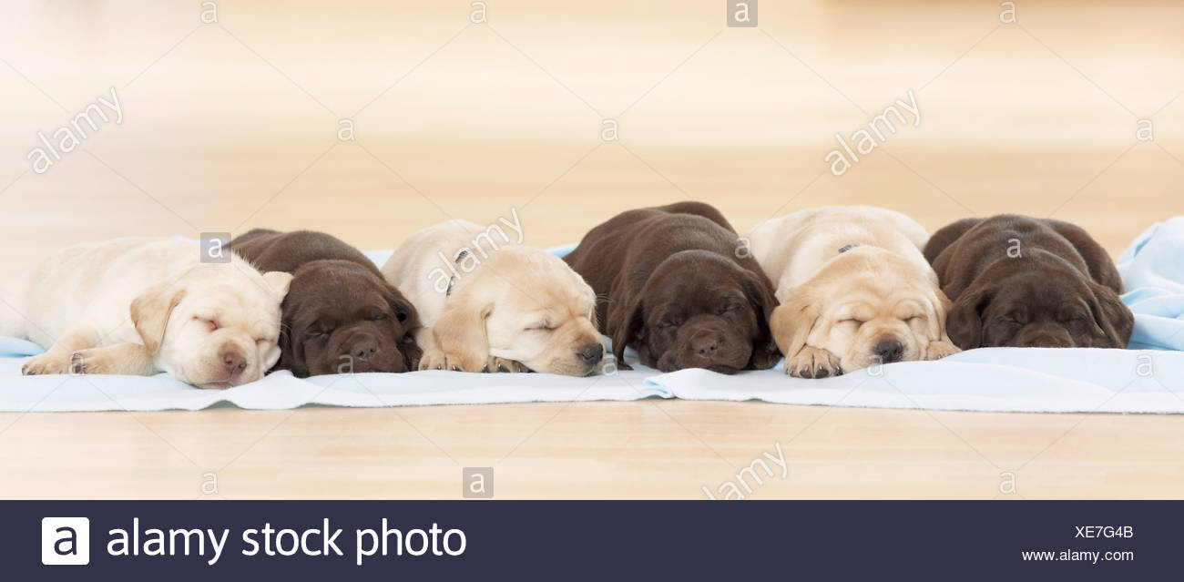 Labrador Retriever dog - six puppies - sleeping - Stock Image
