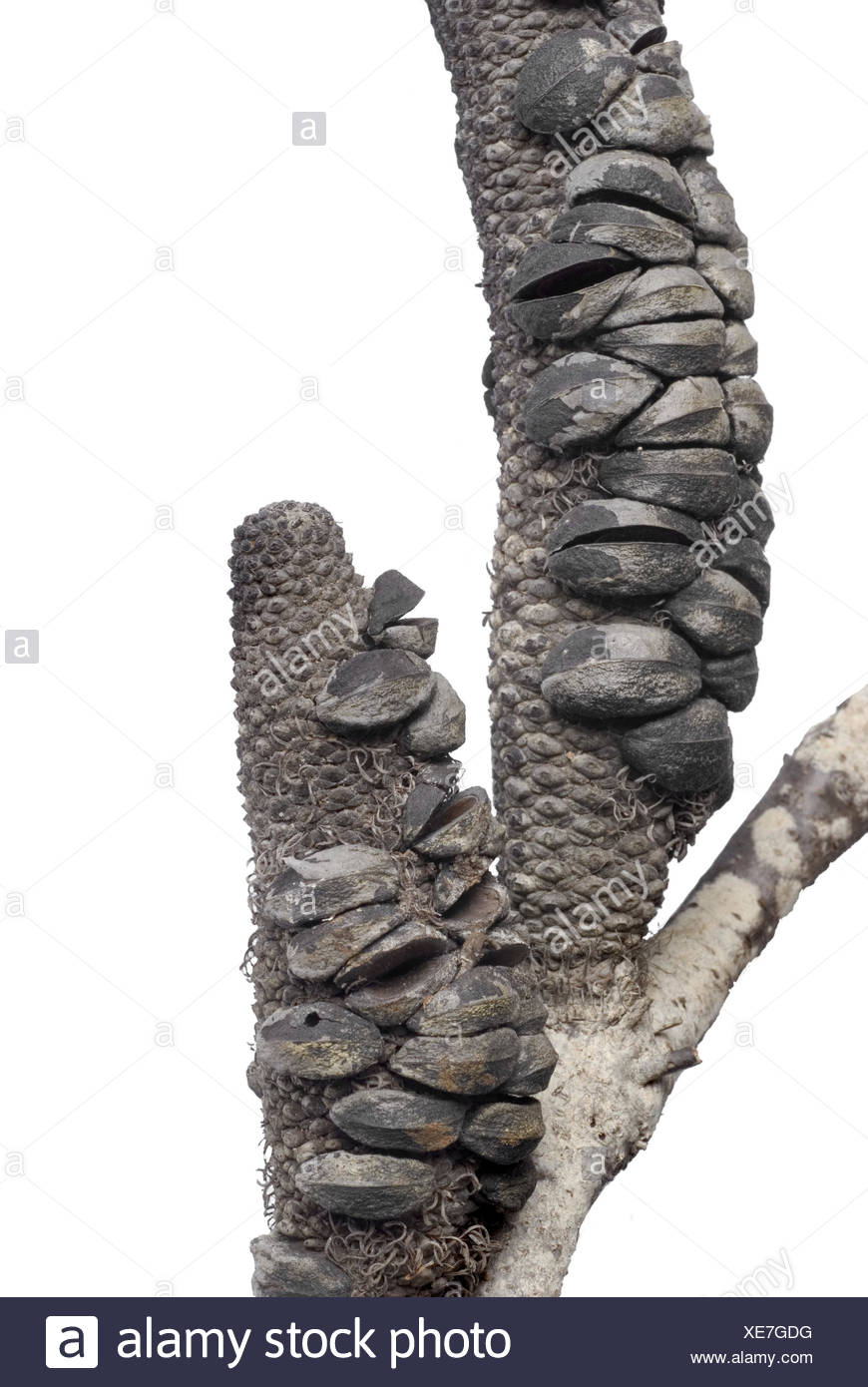 banksia after the fire - Stock Image