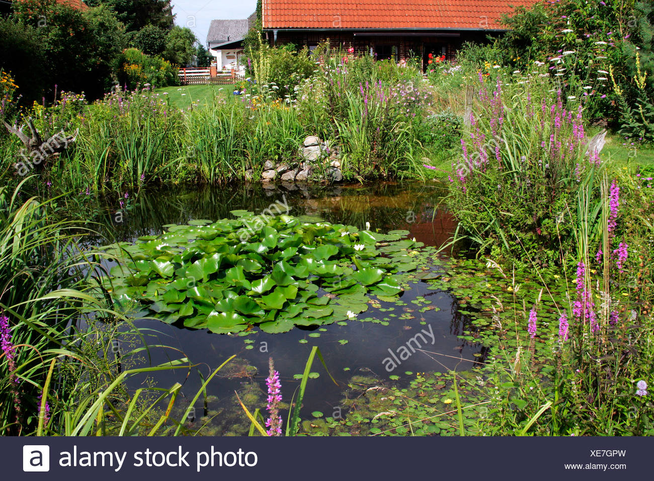 Natural garden with pond in summertime, European White Waterlily (Nymphaea alba), Purple Loosestrife (Lythrum salicaria) and Fr - Stock Image