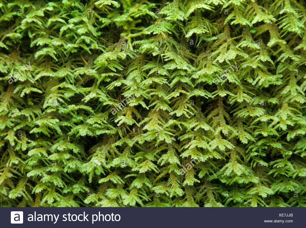 Club moss along Woodpecker Loop Trail, William Finley National Wildlife Refuge, Oregon. - Stock Image