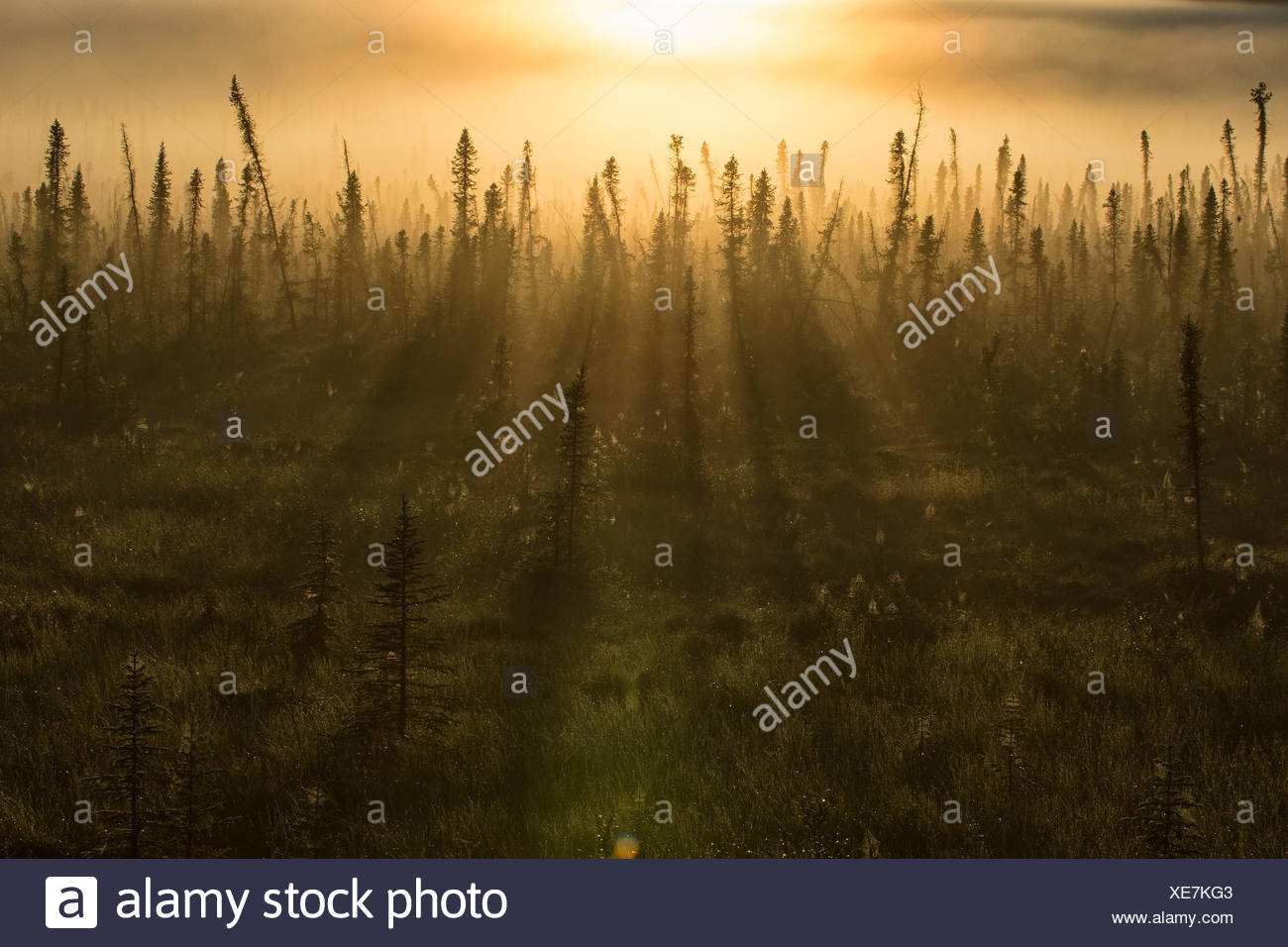 Early morning sun on the boreal forest. The stunted look of the forest is due to permafrost, that lies just below the surface. - Stock Image