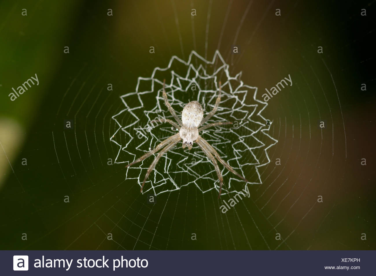 White spider (Araneidae) on web zig-zag stabilmentum Tanjung Puting National Park Borneo Central Kalimantan Indonesia - Stock Image