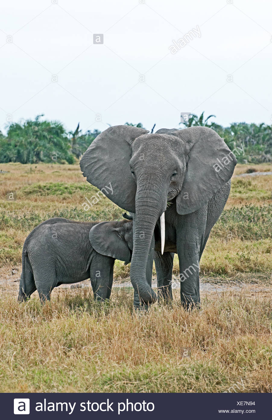 Female African elephant suckling her baby calf Amboseli National Park Kenya East Africa - Stock Image