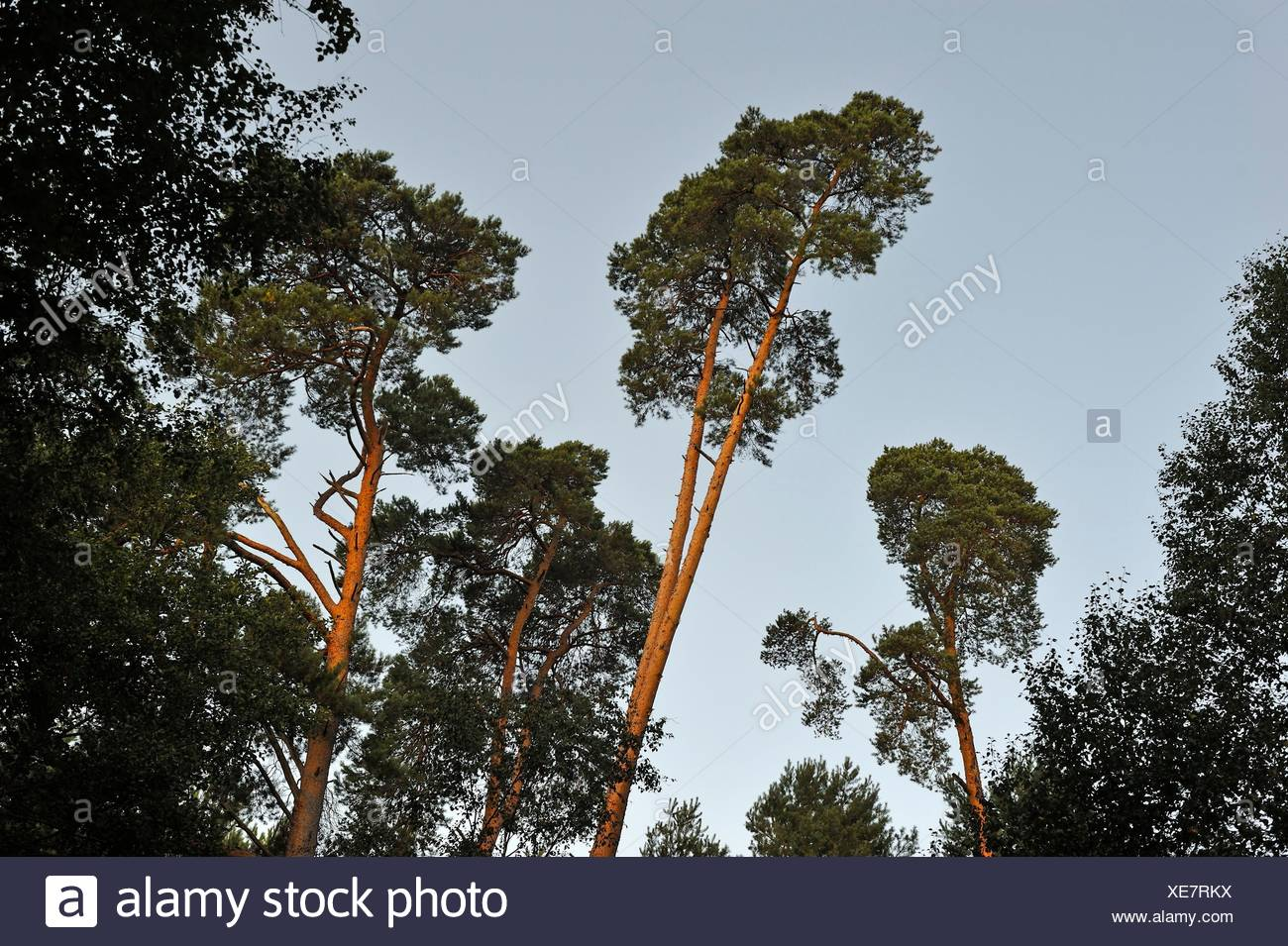 pine tree wood at Rochers d´Angennes site in the Forest of Rambouillet, Haute Vallee de Chevreuse Regional Natural Park, Yvelines department, - Stock Image