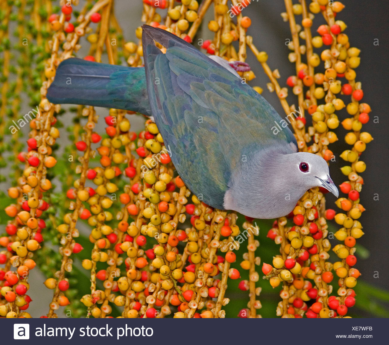 Green imperial pigeon ducula aenea Sri Lanka - Stock Image