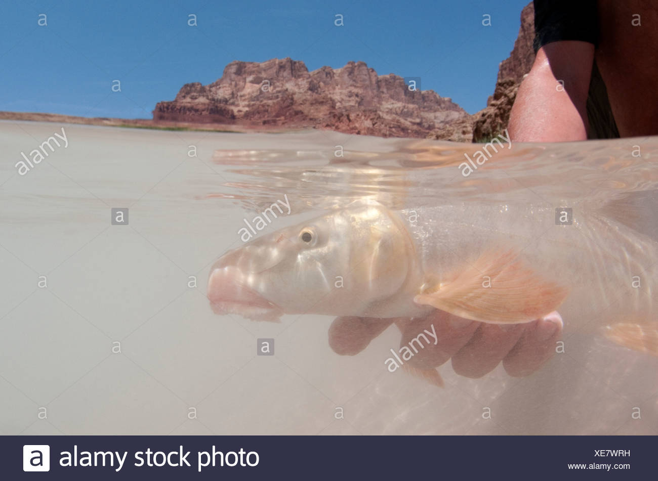 A USGS biologists holds a flannelmouth sucker underwater. - Stock Image