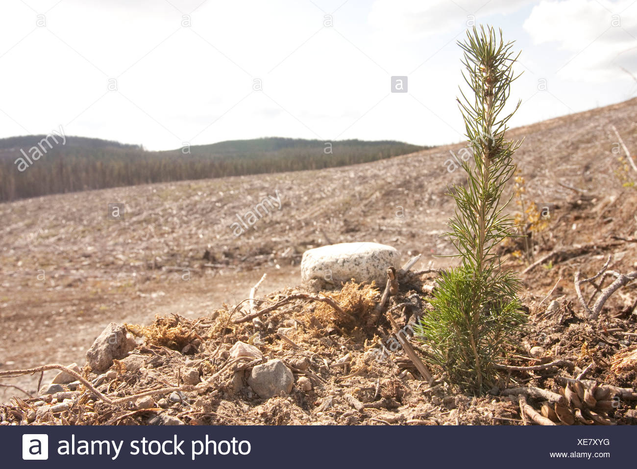 a new generation of trees is given a chance to grow in a clear cut in B.C - Stock Image