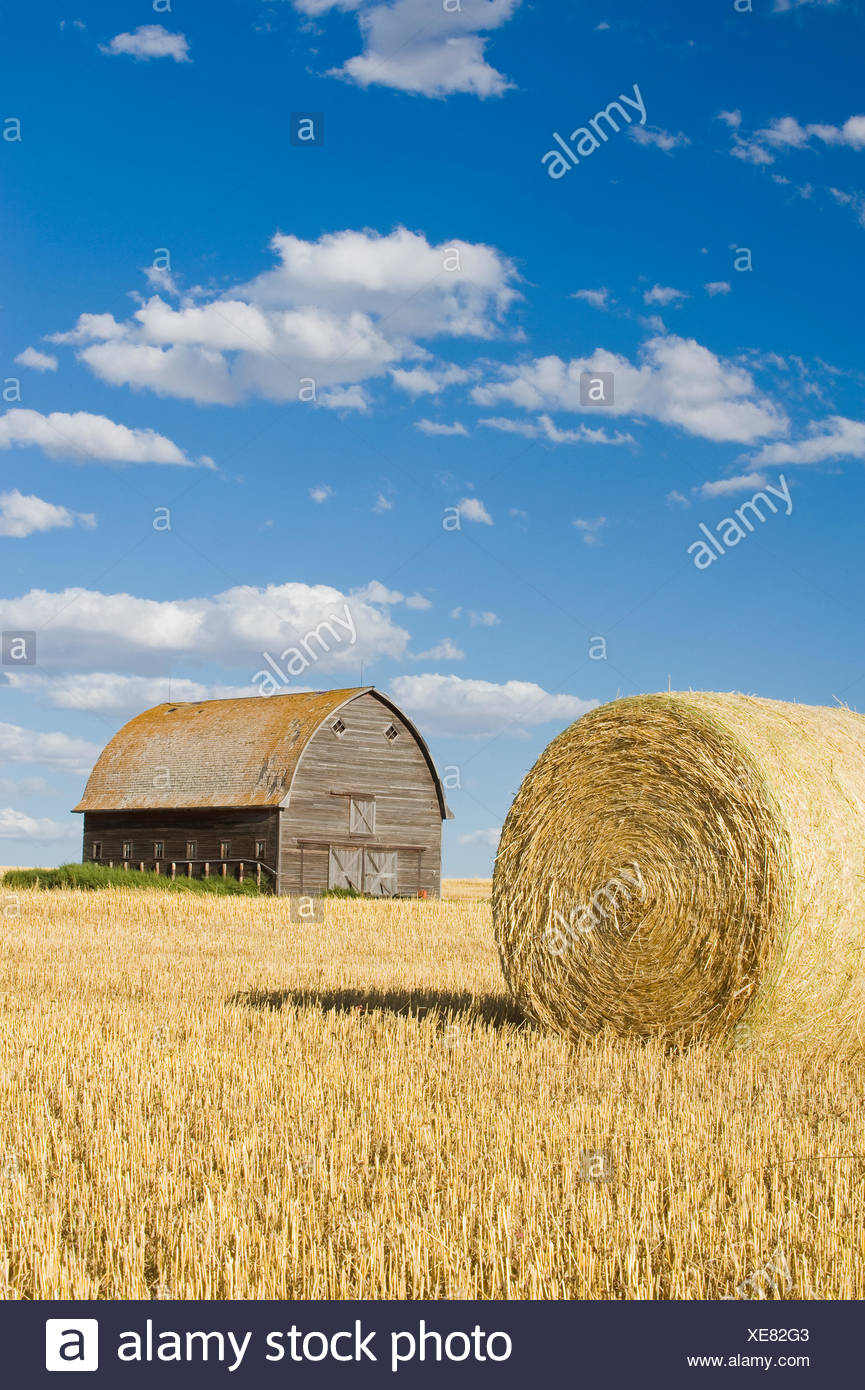 old barn and round durum wheat straw bales near Ponteix, Saskatchewan, Canada - Stock Image