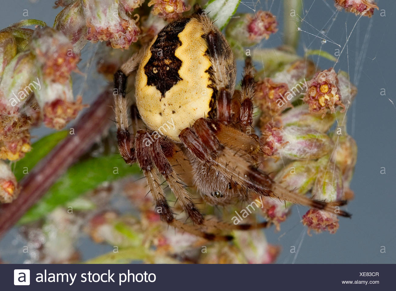 marbled orbweaver, marbled spider (Araneus marmoreus f. pyramidata, Araneus marmoreus pyramidata), on a grass ear, Germany - Stock Image