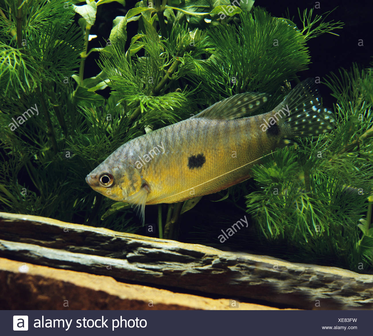 Gourami Fish, trichogaster trichopterus Stock Photo