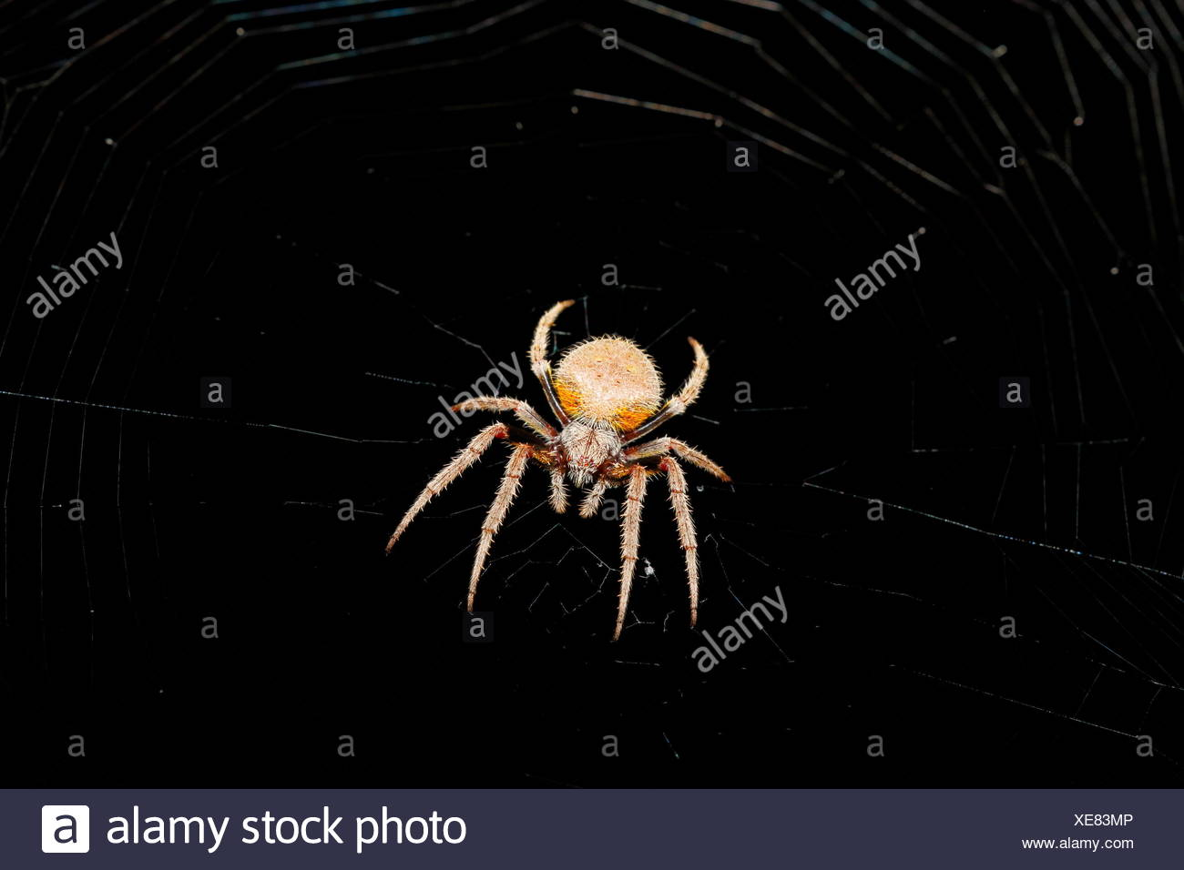 A tropical orb weaver spider, Araneidae, in the center of its web. - Stock Image