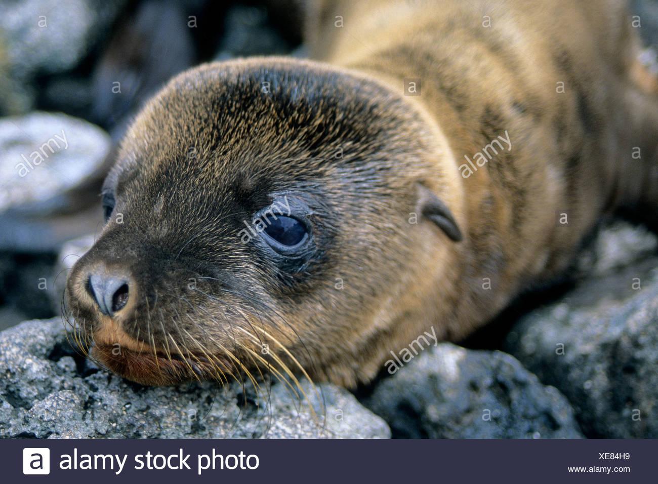 California sea lion pup (Zalophus californicus wollebacki), James Island, Galapagos Archipelago, Ecuador Stock Photo