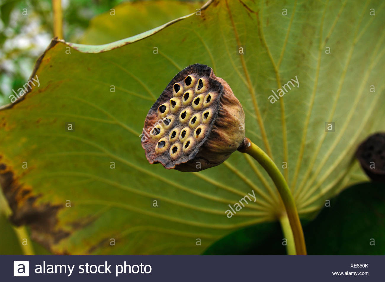 Seed Pod Of A Lotus Flower Nelumbo Stock Photo 284150627 Alamy