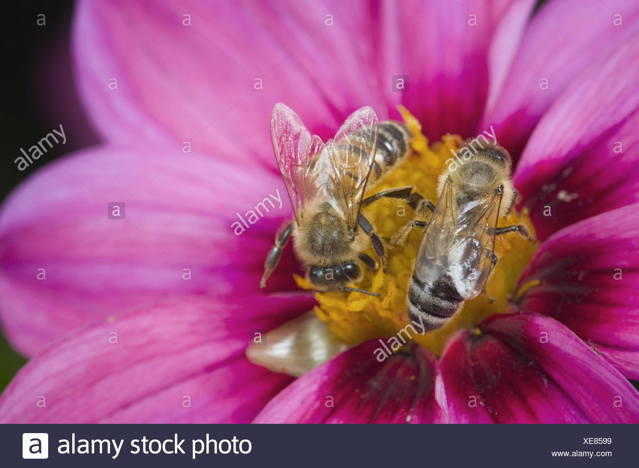 two bees opposed Stock Photo