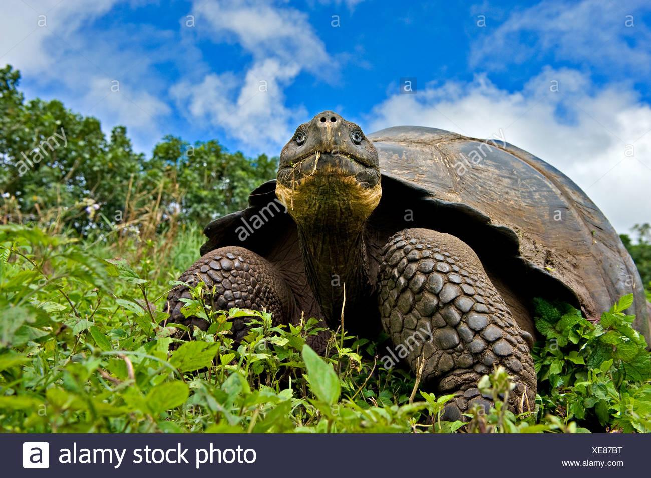 Galapagos giant tortoise (Geochelone elephantopus / nigra) adult feeding, Santa Cruz, Galapagos - Stock Image