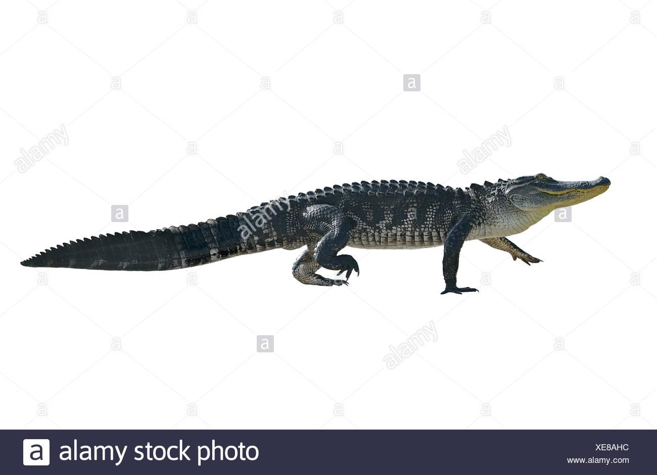 Florida Alligator Isolated on White Background Stock Photo